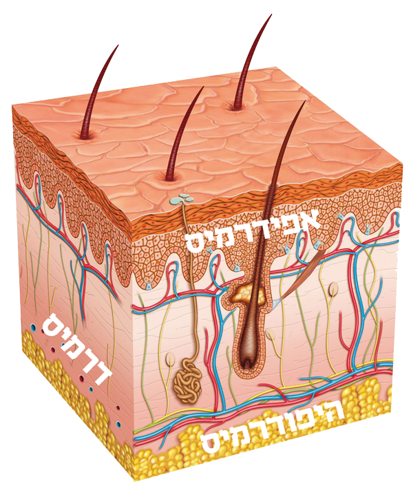 איור של מבנה העור