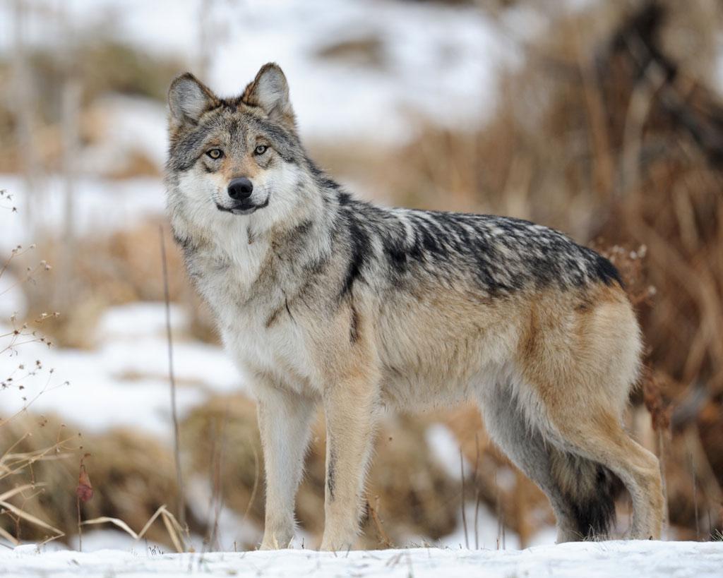 תמונה של זאב
