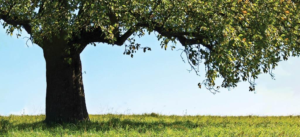 תמונת אילוסטרציה - עץ תפוחים